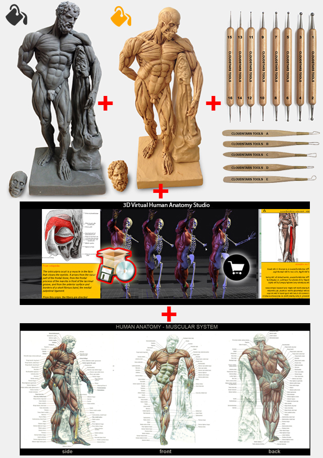 High Detailed Corch Anatomical Reference Model Indiegogo