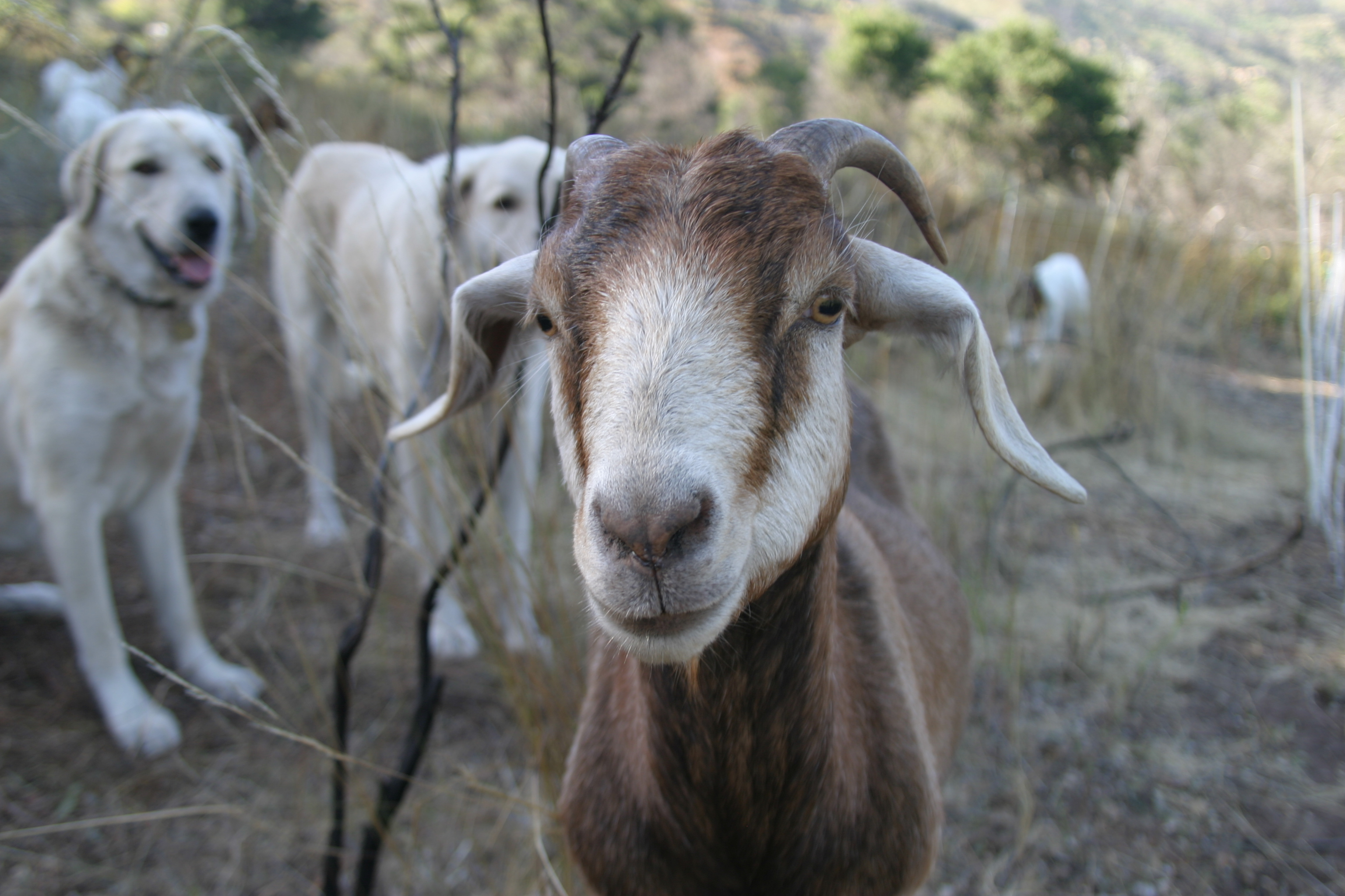 mission canyon assoc gives 10k brush goats 4 hire join us now