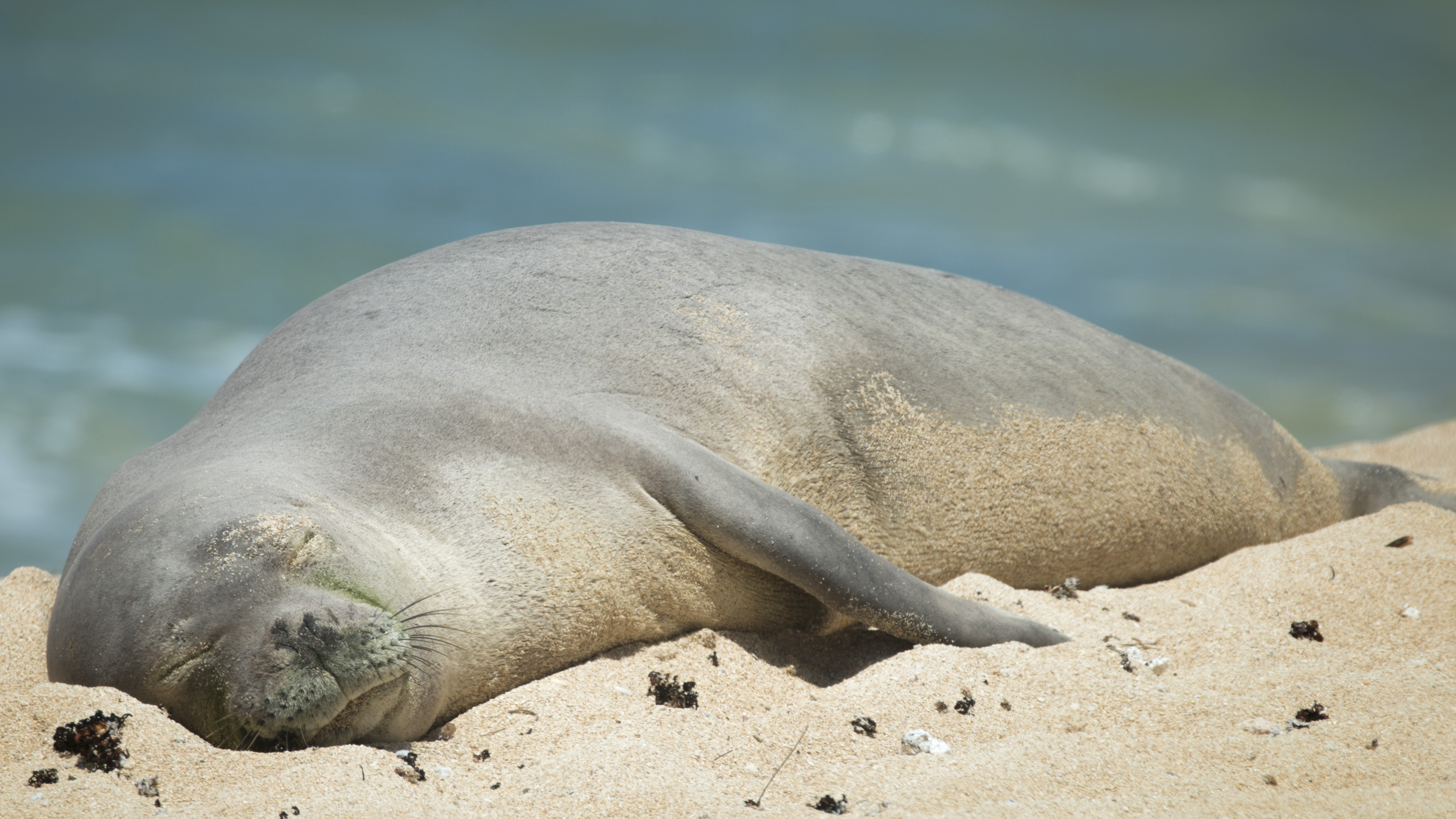 hawaiian monk seal The hawaiian monk seal is one of the most endangered seal species in the world the population overall has been declining for over six decades and current numbers are only about one-third of.