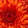 20121020220558-chrysanthemum