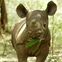 20130803105408-babyrhino