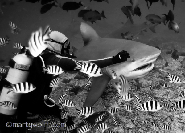 Diver With A Bull Shark