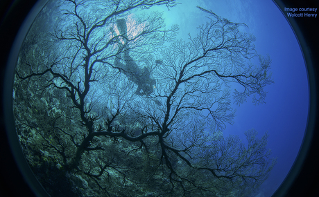 20131125100523-staghorn_coral_-_wolcott_henry_copy