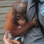 20120818091916-international_animal_rescue_baby_orangutan