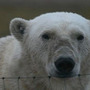 20120301062558-bear_at_fence